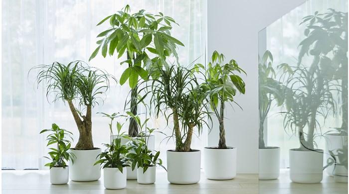 Kamerplanten kopen artikelaanbod groencentrum brugge for Grote planten voor binnen