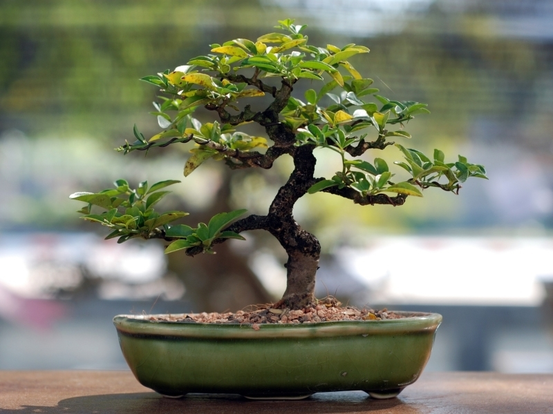 bonsai tuintips groencentrum brugge. Black Bedroom Furniture Sets. Home Design Ideas